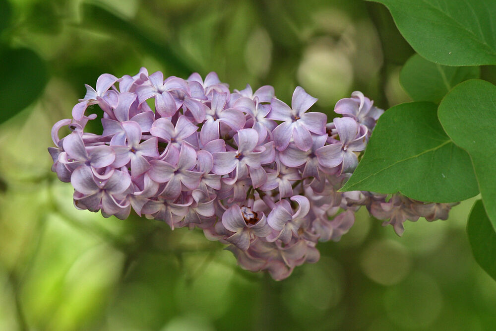 french lilac common syringa vulgaris extremly fragant 25. Black Bedroom Furniture Sets. Home Design Ideas
