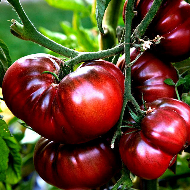 black krimtomato seeds see our store for over 200 kinds. Black Bedroom Furniture Sets. Home Design Ideas