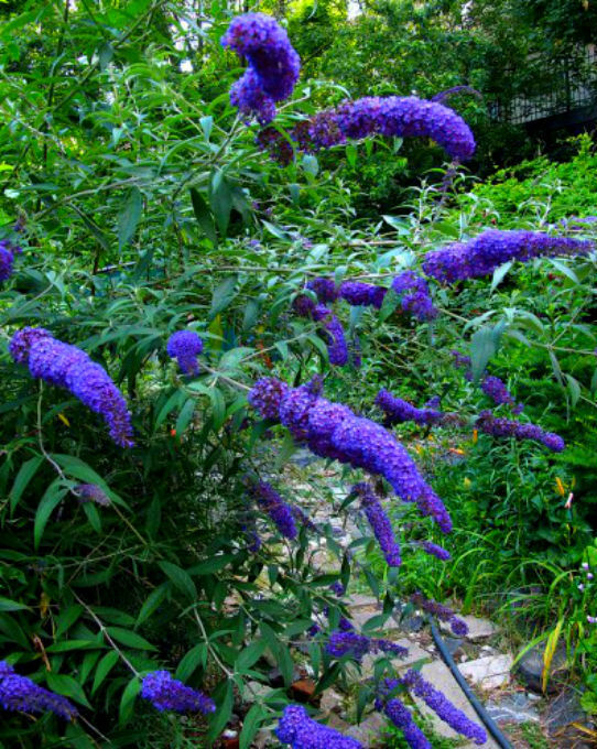 Mixed Butterfly Bush