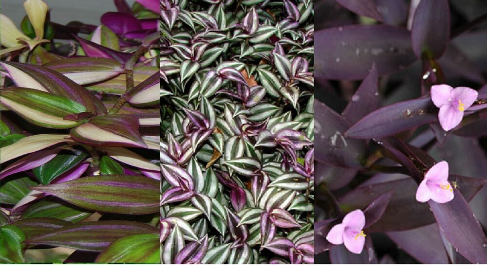 3 Types Variety Lot Wandering Jew Sailor Tradescantia