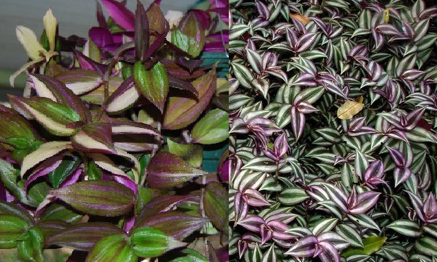 2 types variety lot tradescantia tri color fluminensis for Tradescantia zebrina