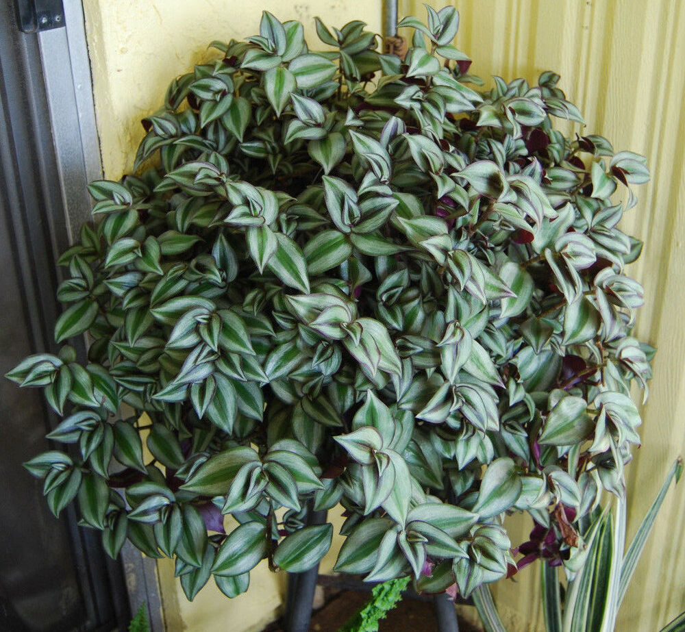 Violet hill tradescantia zebrina trailing wandering jew houseplant easy care ebay - Wandering jew care ...