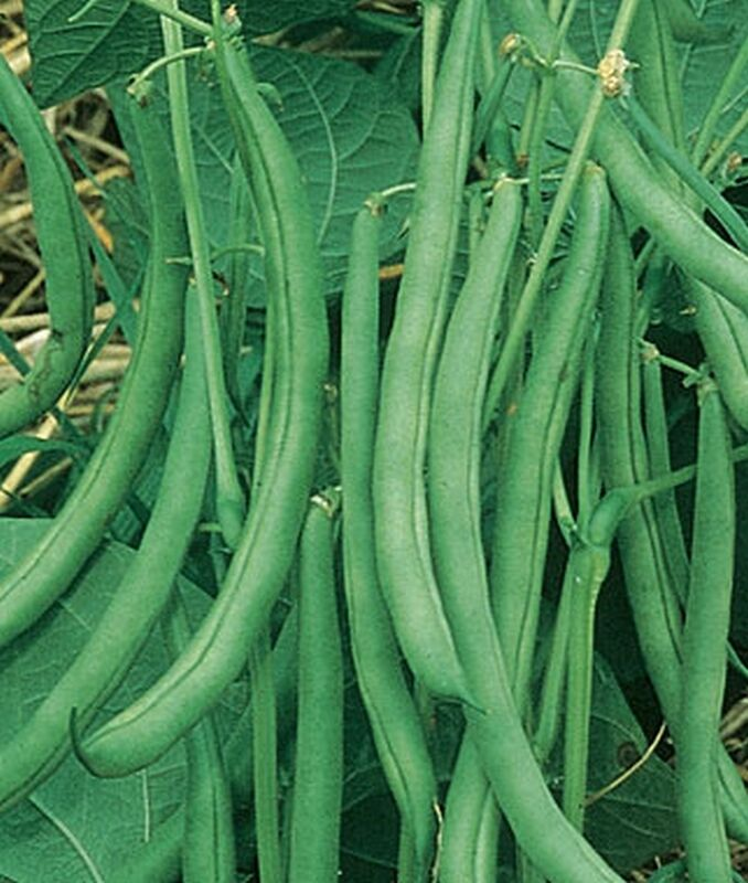 Contender green bean seeds huge yields of excellent - A gardener is planting two types of trees ...