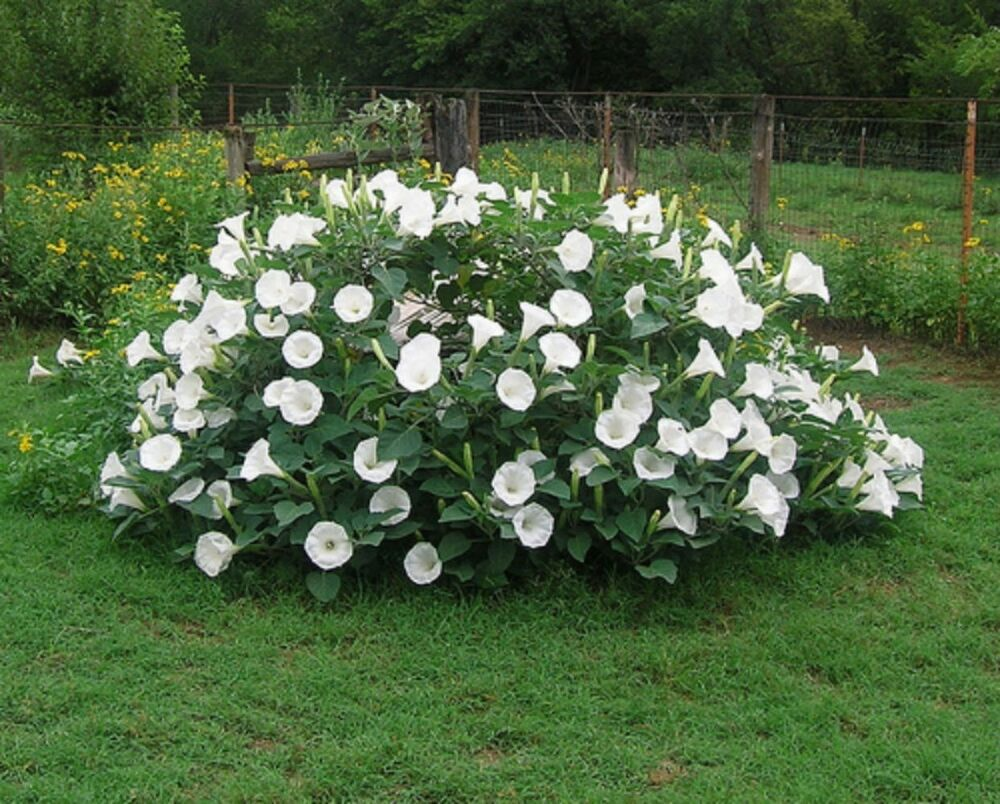Fragrant Moonflower Bush 20 Seeds This Will Slow Down