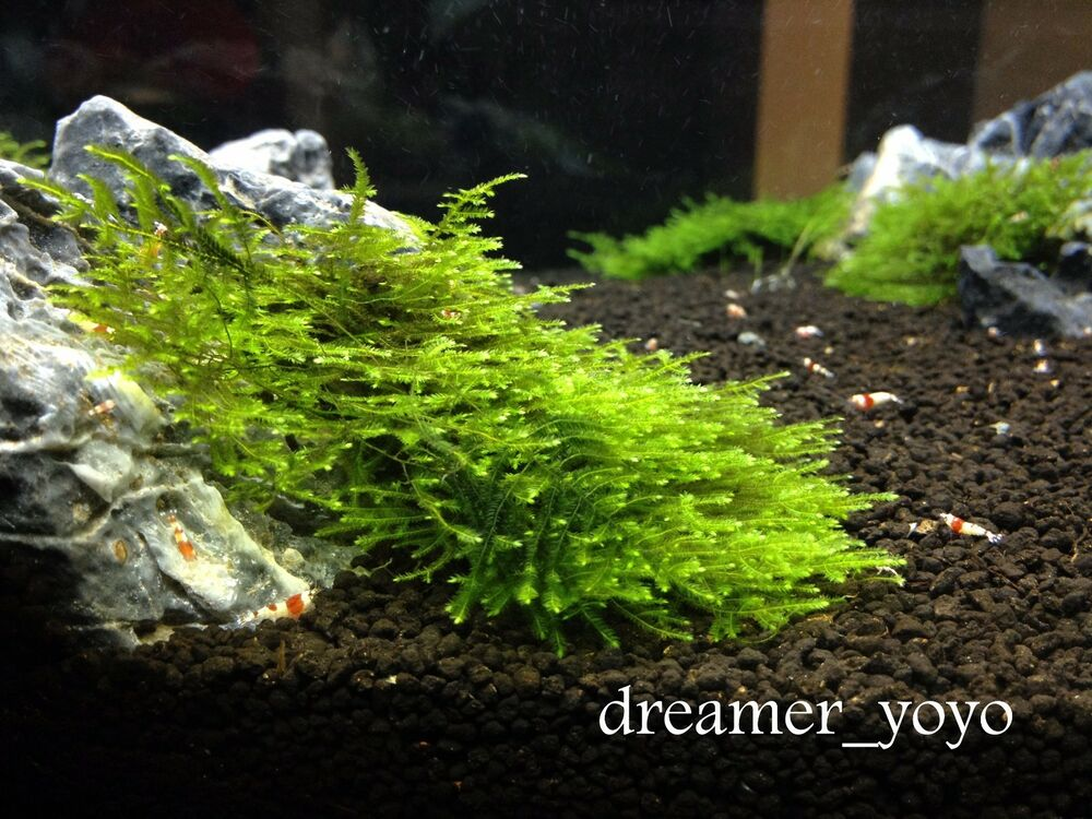 Aquatic Plant Anchor Moss Rare Beautiful and Hardy ** BUY 2 GET 1 FREE ...