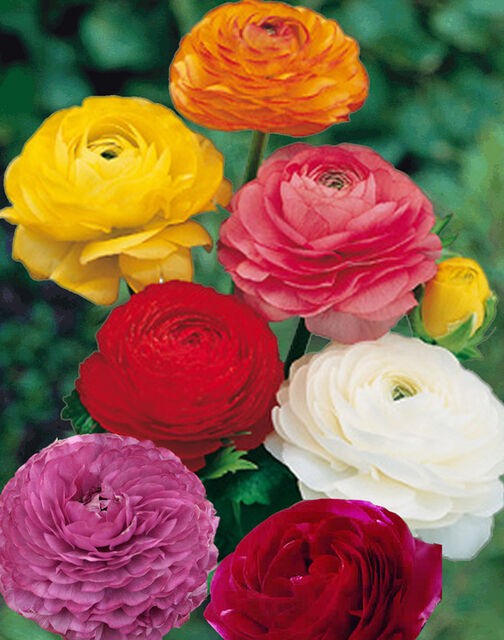 10 Ranunculus Flower Bulbs All 10 Of One Color Or Mix Double Telecote Sz 7 8 Ebay
