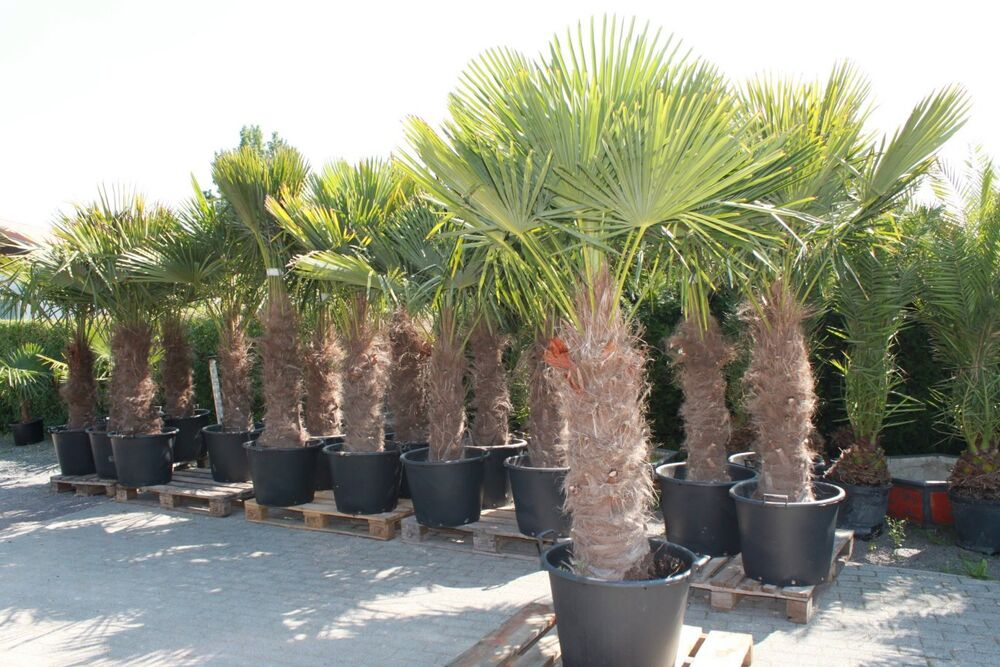 hanfpalme trachycarpus fortunei max 250 cm aus spanien winterhart bis ca 19 c ebay. Black Bedroom Furniture Sets. Home Design Ideas