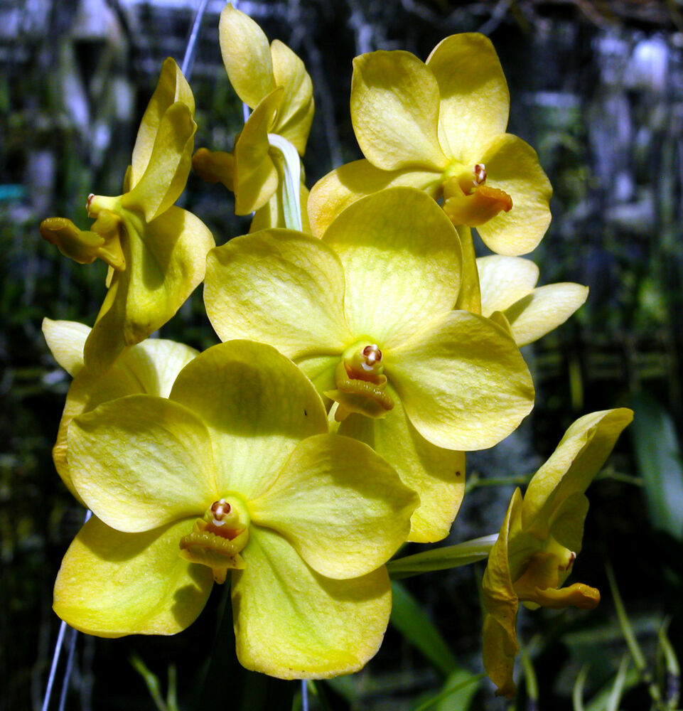 Orchid Identification likewise 4493789747 further Orchid Blogging For January besides Pro additionally 301827976838. on cymbidium orchids are blooming