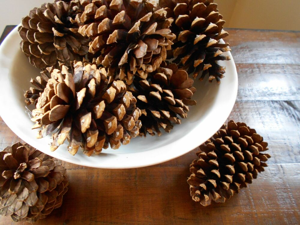 Ponderosa pine tree cones for crafts rustic weddings 5 for Large pine cones