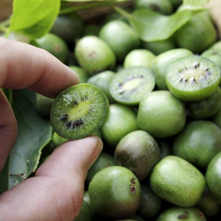 actinidia arguta hardy kiwi mini cocktail kiwi vine 50 seeds ebay. Black Bedroom Furniture Sets. Home Design Ideas