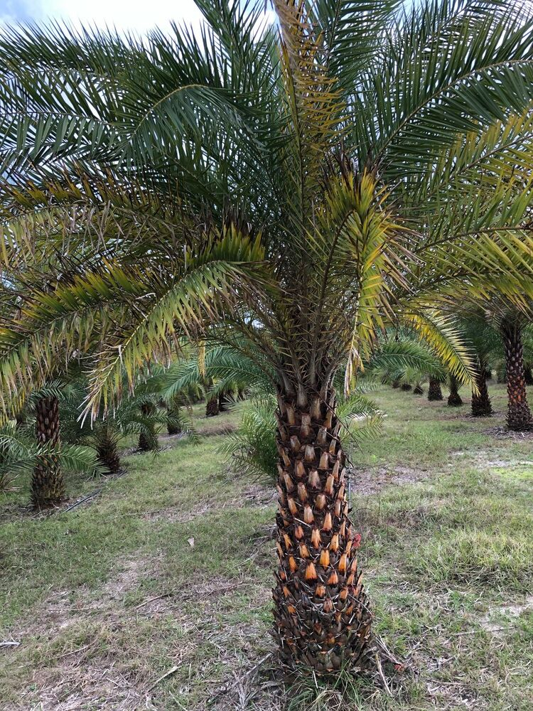 Sylvester palm trees for sale ebay for Trees for sale
