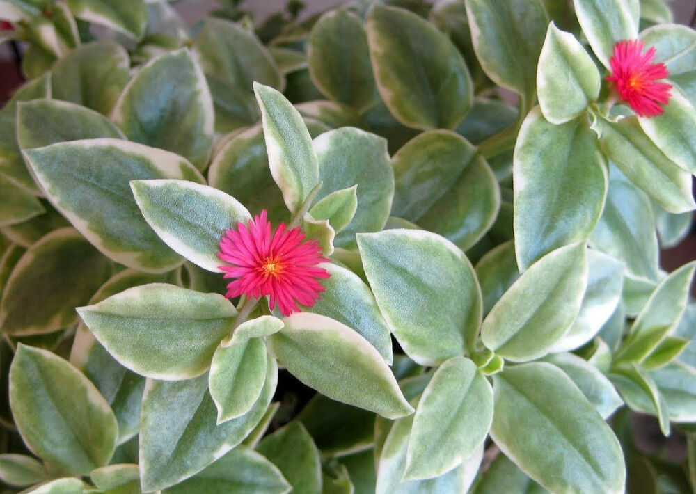 Baby Sun Rose Heart Ice Plant Trailing