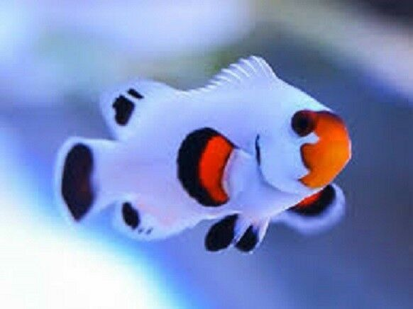 X1 snowflake wyoming clown fish tank raised amphiprion for Clown fish for sale