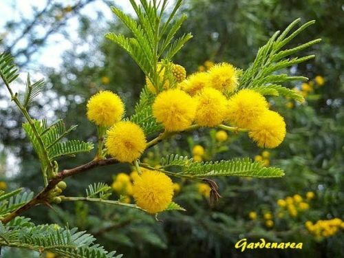 110 Graines de Mimosa d'hiver 'Acacia dealbata' Silver wattle tree seeds