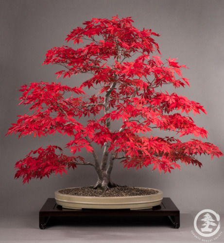 10 semi acero giapponese acer palmatum 10 seeds for Acero giapponese