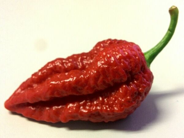 15 Graines de piment Chocolate Bhutlah, Hot Chili pepper seeds