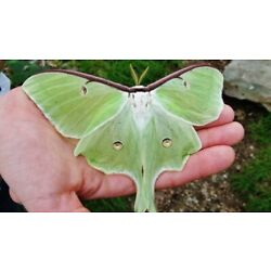 Kyпить 1X Live Luna Moth Cocoon For Hatching With Care sheet на еВаy.соm