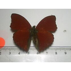 Real Dried Insect/Butterfly Non set B7615 Bright red Cymothoe sangaris Africa