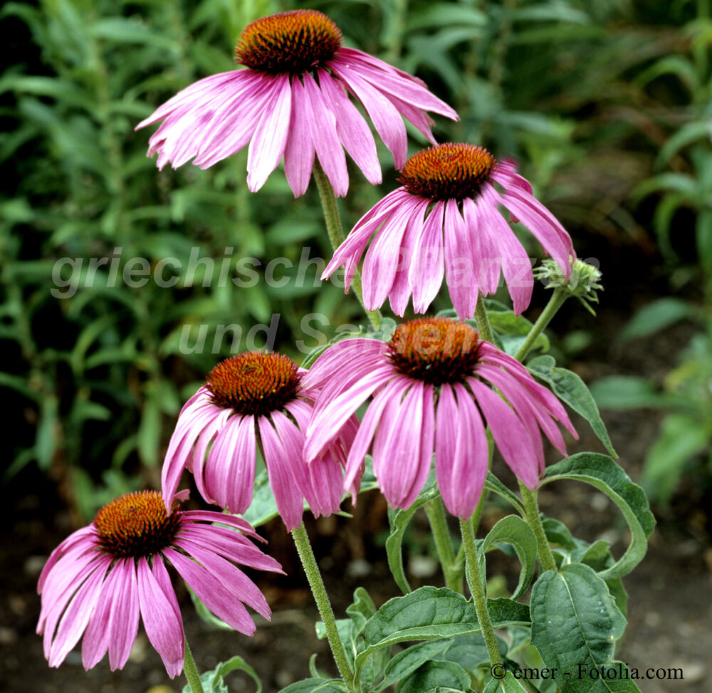 echinacea pupurea heilpflanze sonnenhut pink 30. Black Bedroom Furniture Sets. Home Design Ideas
