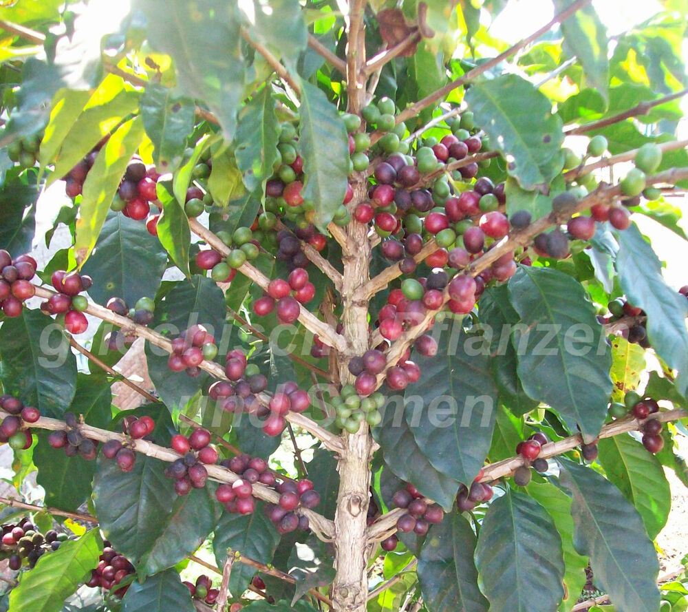 coffea arabica 5 samen kaffee baum tolle k belpflanze mehrj rig exot ebay. Black Bedroom Furniture Sets. Home Design Ideas