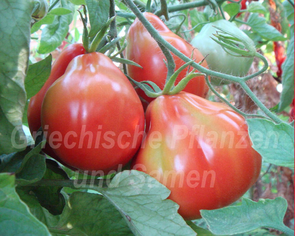 gruschewij tomate birnenf rmige tomaten rot 10 samen ebay. Black Bedroom Furniture Sets. Home Design Ideas
