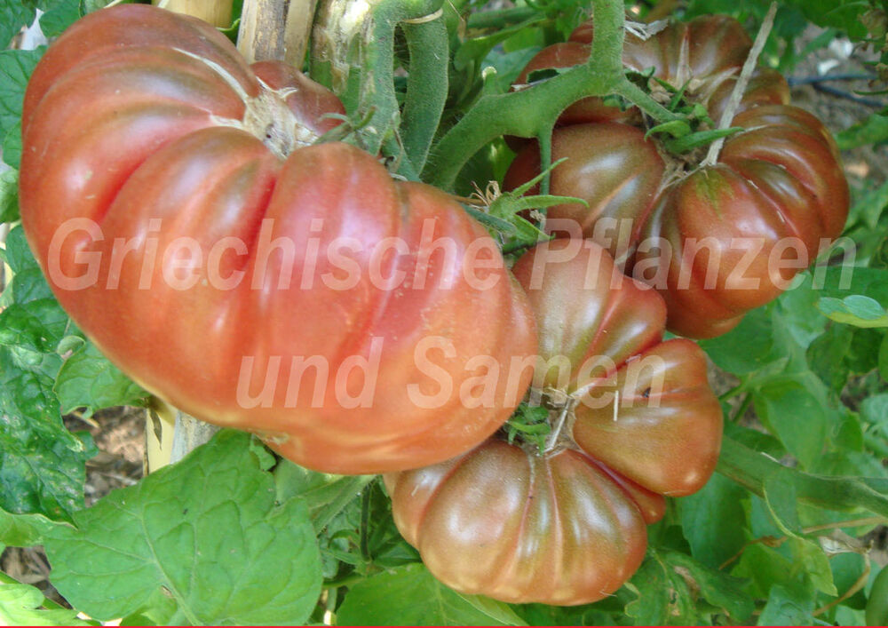 tims black ruffled tomate fleisch tomaten 10 samen ebay. Black Bedroom Furniture Sets. Home Design Ideas