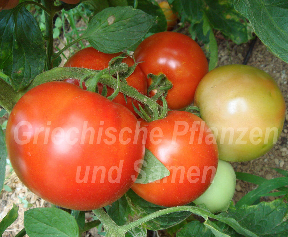 kreta tomate fleisch tomaten aus griechenland 10 samen ebay. Black Bedroom Furniture Sets. Home Design Ideas
