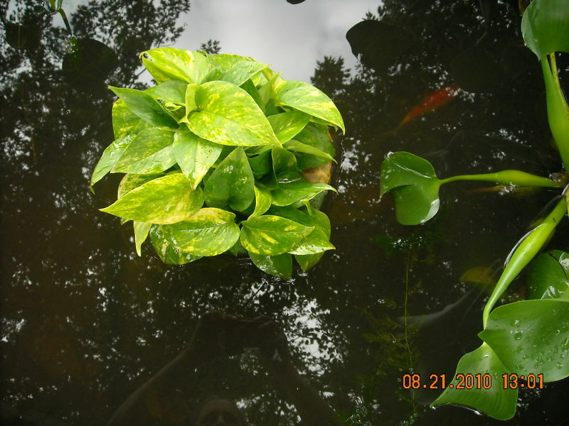 Small floating basket for pond plants w anchor string ebay for Floating pond plants