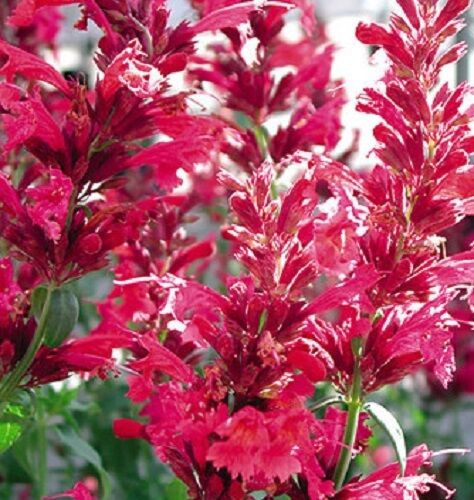 50 agastache red heather queen flower seeds perennial