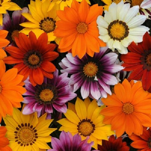 30 Gazania New Day Mix Flower Seeds Drought Tolerant