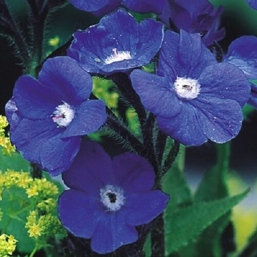 30 blue anchusa perennial flower seeds deer rabbit Plants that love sun and heat