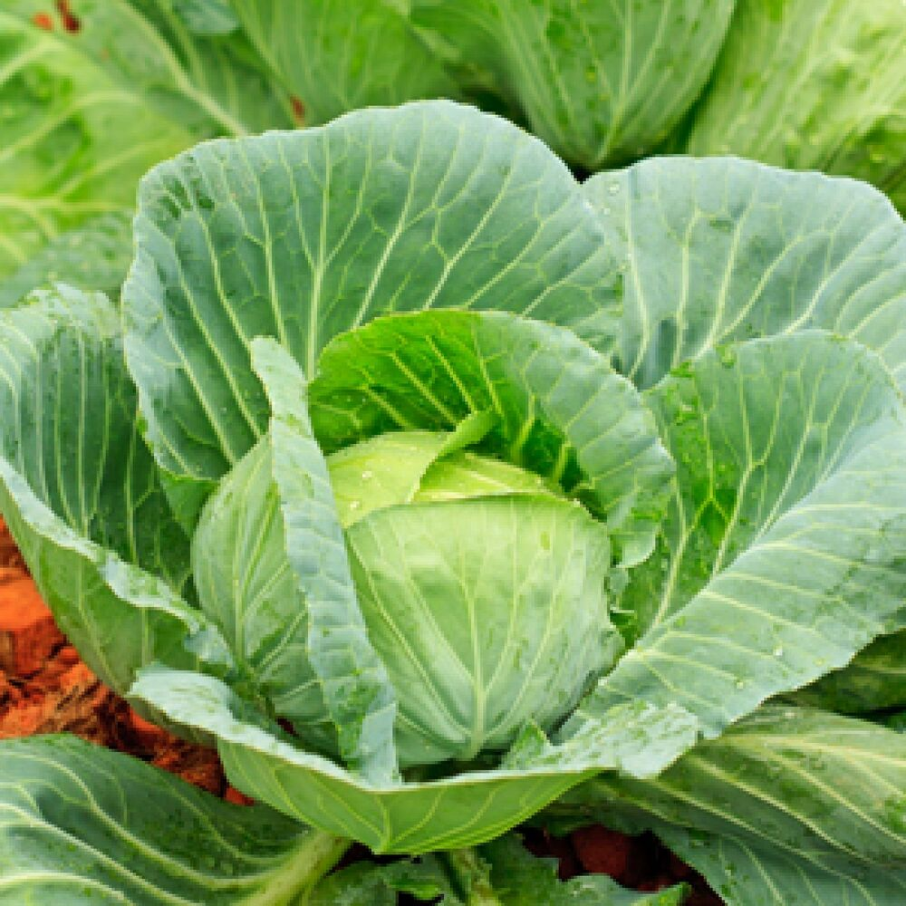 Cabbage Seed All Seasons Fresh Free