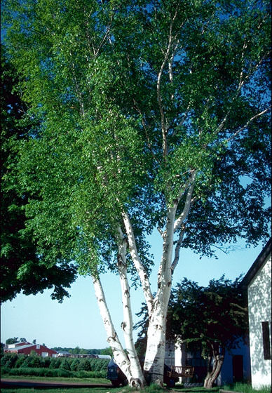 very hardy paper birch seeds ideal for bonsai ebay. Black Bedroom Furniture Sets. Home Design Ideas