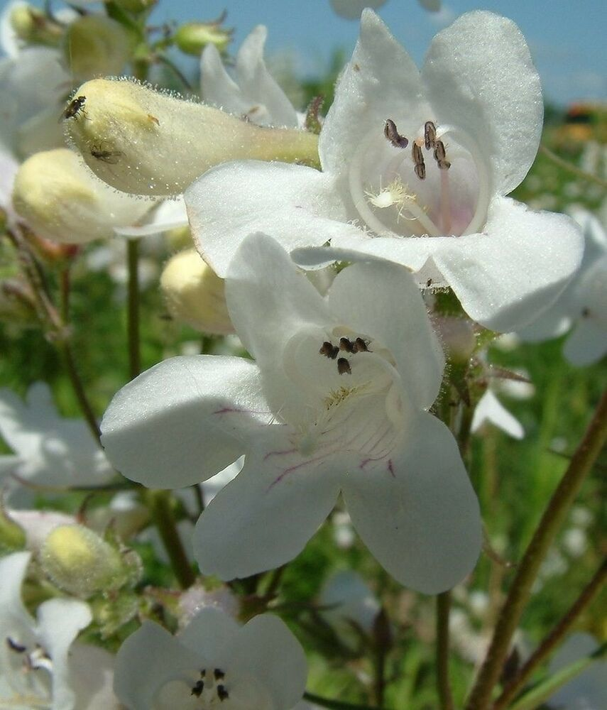 Southwest Colorado Wildflowers Penstemon strictus