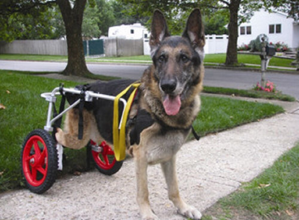 Walking Dog In Wheelchair