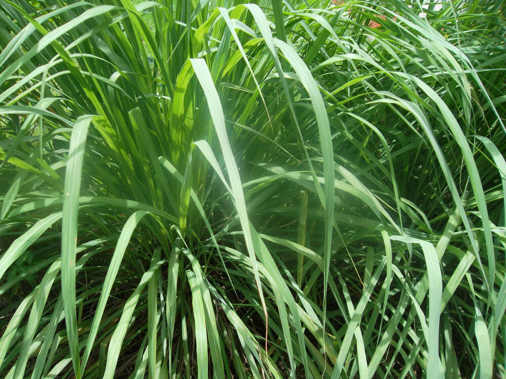 8 live stalks lemon grass with strong roots for plant c s natural grows ebay. Black Bedroom Furniture Sets. Home Design Ideas