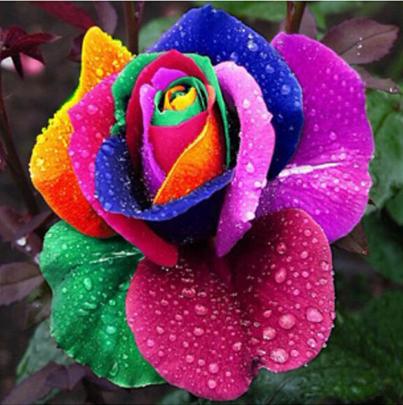 200pcs gashion colorful rainbow rose flower seeds home