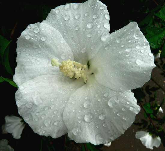 Hardy Hibiscus Seeds - WINTER WHITE - Perennial Flowering ...