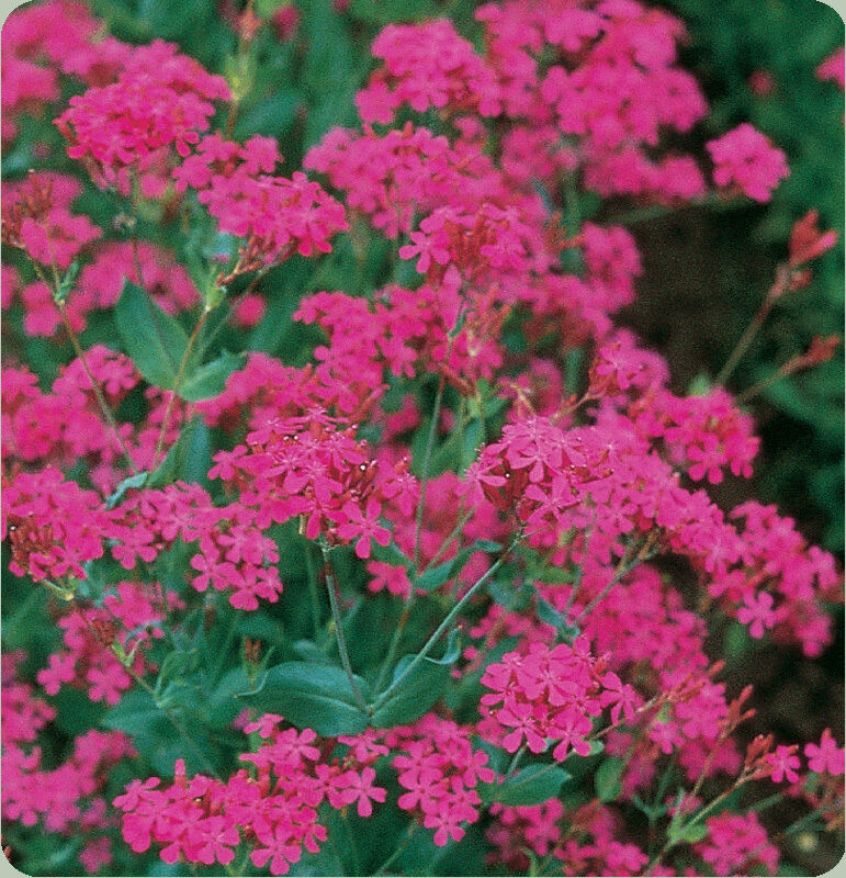 Catchfly Seeds Attractive Tiny Bold Pink Flowers Bulk