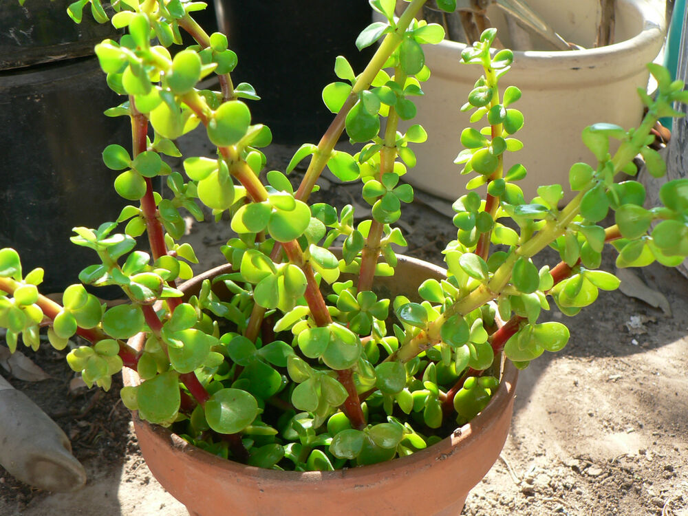 Garden Bush: Green/Red Stem Elephant Jade Tree PORTUCALARIA AFFRA