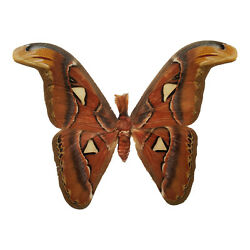 HUGE REAL Attacus Atlas Moth,A1, US SELLER One of the Largest in the World!
