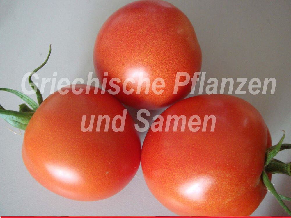 tomate tomaten fr hzauber 10 frische samen fr her reicher ertrag balkon k bel ebay. Black Bedroom Furniture Sets. Home Design Ideas
