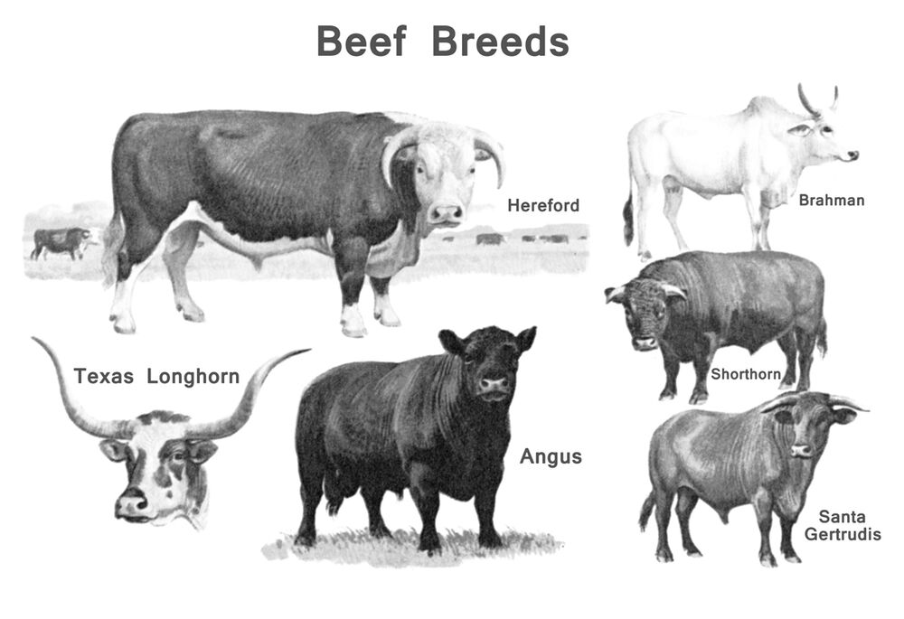 Vintage Beef Breeds Poster Cattle Butcher Classification