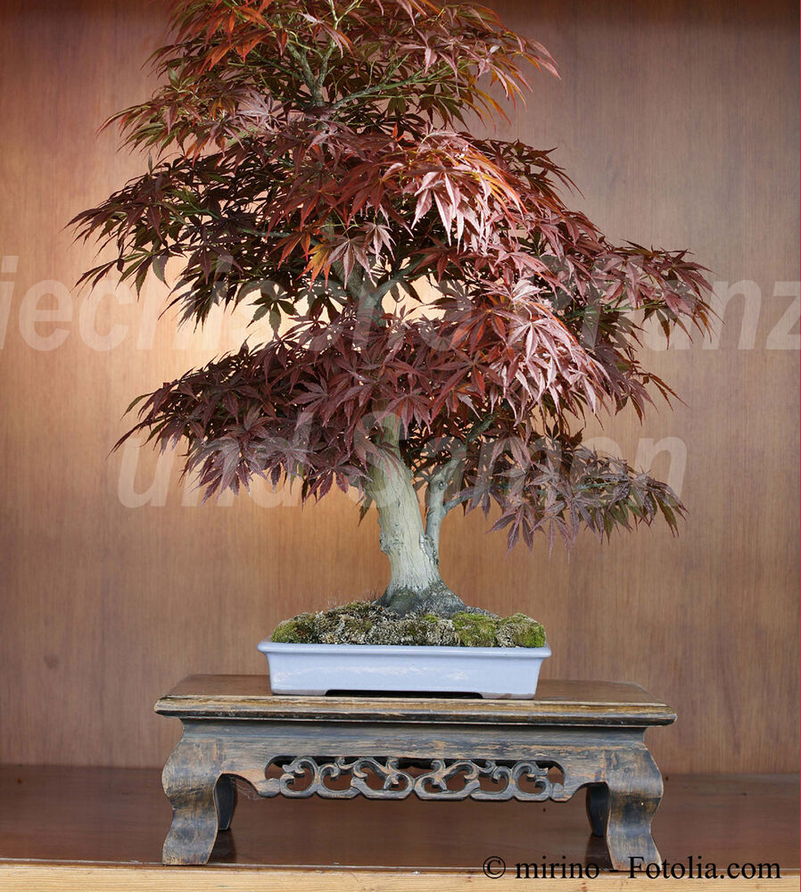 acer atropurpurea japanischer ahorn 10 samen bonsai. Black Bedroom Furniture Sets. Home Design Ideas
