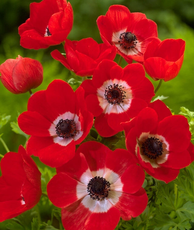 12 x red poppy anemone de caen hollandia tubers bulbs ebay. Black Bedroom Furniture Sets. Home Design Ideas