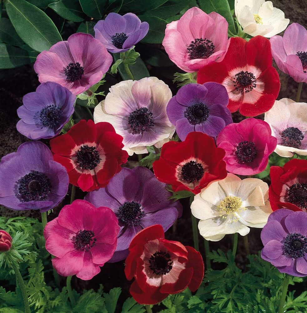 15 x poppy anemone de caen mixed perennial flower tubers. Black Bedroom Furniture Sets. Home Design Ideas