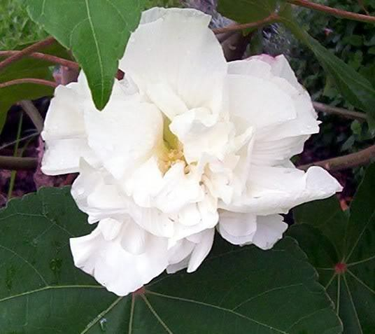 50 White Double Rose Of Sharon Hibiscus Syriacus Flower