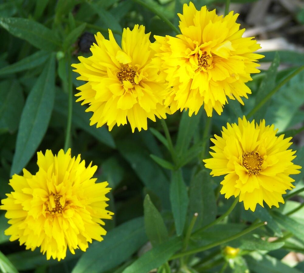 COREOPSIS * EARLY SUNRISE * TROUBLEFREE * BRIGHT YELLOW