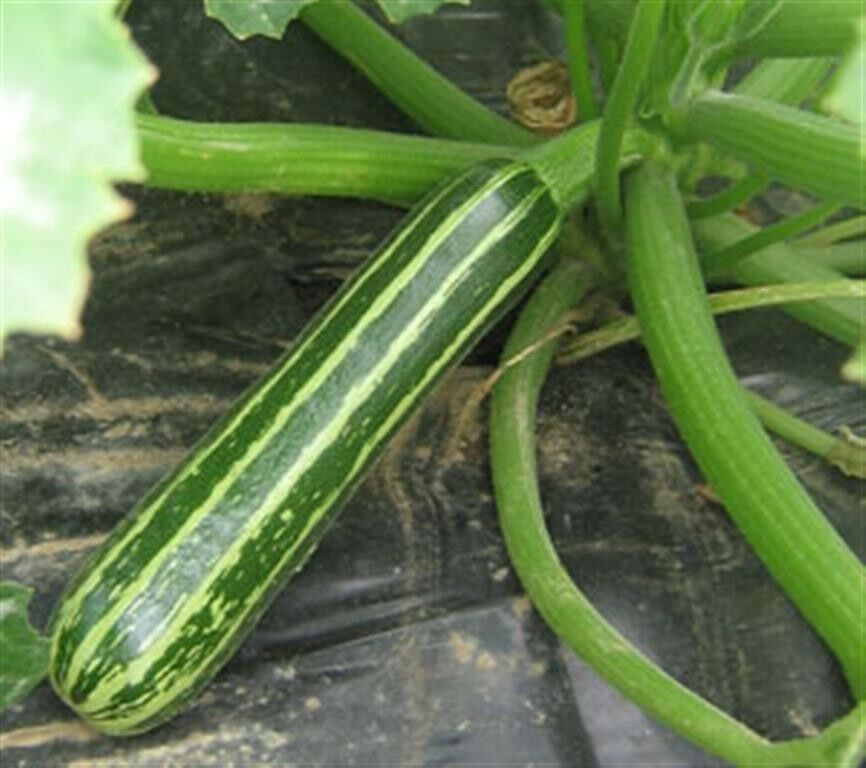 ZUCCHINI SUMMER SQUASH LONG GREEN STRIPE SAFARI COURGETTE ...