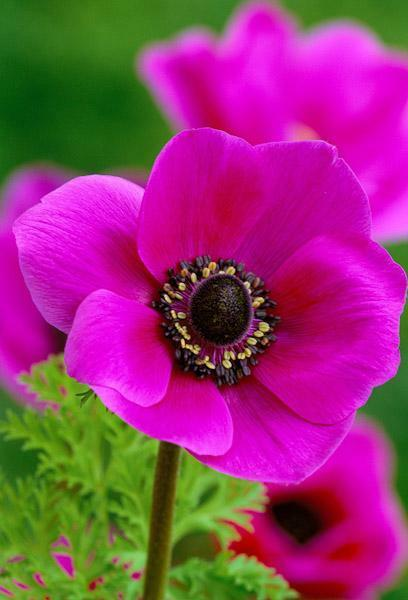 12 x pink poppy anemone de caen sylphide tubers bulbs ebay. Black Bedroom Furniture Sets. Home Design Ideas